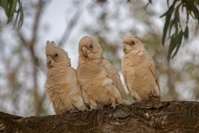 Little Corella (Cacatua sanguinea) - Orroroo, South Australia