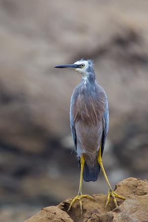 White-faced Heron (Egretta novaehollandiae) - Duesbury Beach (Narooma), New South Wales