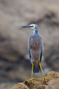 White-faced Heron (Egretta novaehollandiae) - Duesbury Beach (Narooma), New South Wales