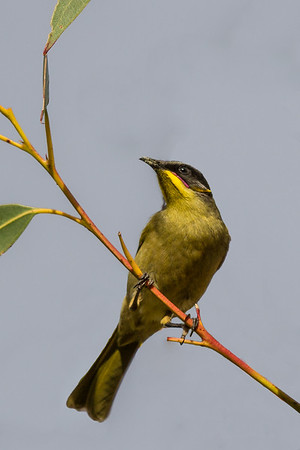 Purple-gaped Honeyeater (Lichenostomus cratitius) - Snake Lagoon (Kangaroo Island), South Australia
