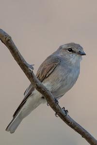 Jacky Winter (Microeca fascinans) - Capertee Valley (Glen Davis), New South Wales