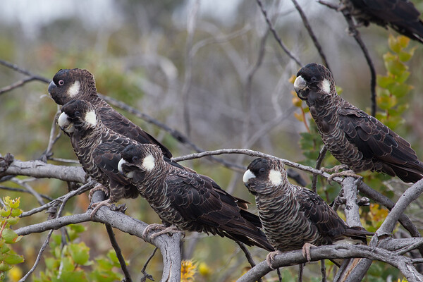 Carnaby's Black-Cockatoo (Calyptorhynchus latirostris) - Cheynes Beach, Western Australia