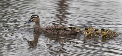 Australian Wood Duck (Chenonetta jubata) - Chiltern, Victoria