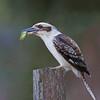 Laughing Kookaburra (Dacelo novaeguineae), Locations, Pemberton
