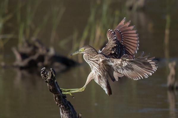 Nankeen Night Heron (Nycticorax caledonicus) - Lake Claremont (Perth), Western Australia
