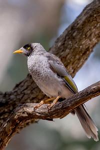 Noisy Miner (Manorina melanocephala) - Eildon, Victoria