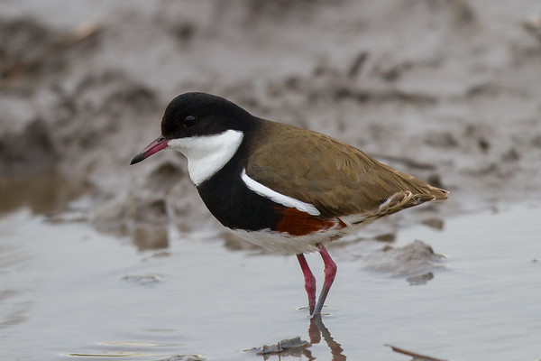 Red-kneed Dotterel (Erythrogonys cinctus) -  Werribee Treatment Plant, Victoria
