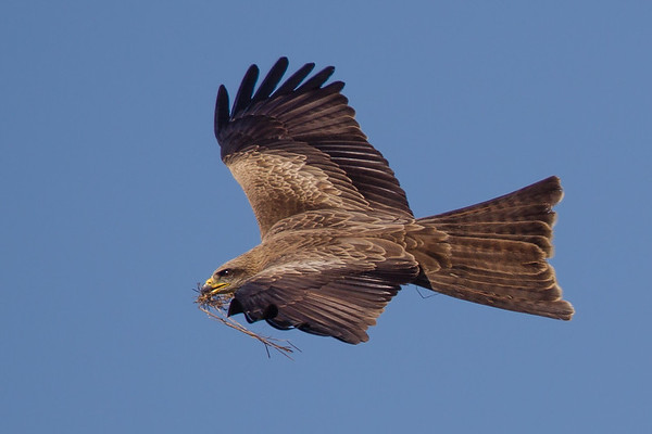 Black Kite (Milvus migrans) - Werribee Treatment Plant, Victoria