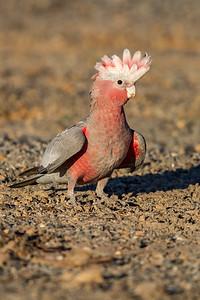 Galah (Eolophus (Cacatua) roseicapillus) - Glen Davis (Capertee Valley), New South Wales