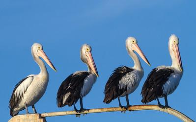 Australian Pelican (Pelecanus conspicillatus) - American River, Kangaroo Island