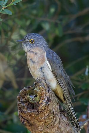 Fan-tailed Cuckoo (Cacomantis flabelliformis) - Cheynes Beach, Western Australia
