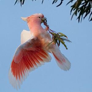 Major Mitchell's Cockatoo (Lophochroa leadbeateri) - Jilah Rockhole, Western Australia