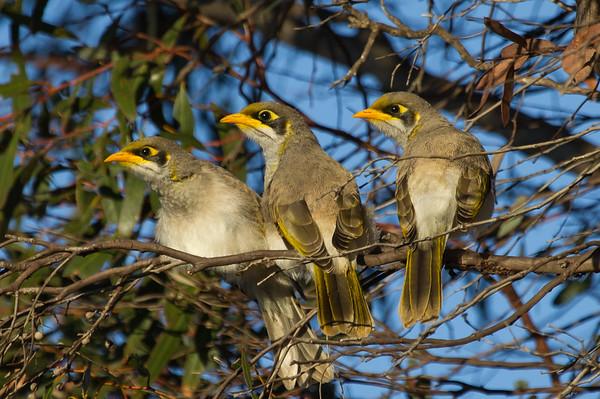 Yellow-throated Miner (Manorina flavigula) - Caiguna, Western Australia