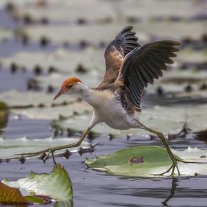 Comb-crested Jacana (Irediparra gallinacea) - Tyto Wetlands (Ingham), Queensland