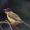 Australasian Figbird (Sphecotheres vieilloti) - Darwin Botanic Gardens, Northern Territory