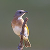 Rufous-banded Honeyeater (Conopophila albogularis) - Holmes Jungle Nature Park (Darwin), Northern Territory