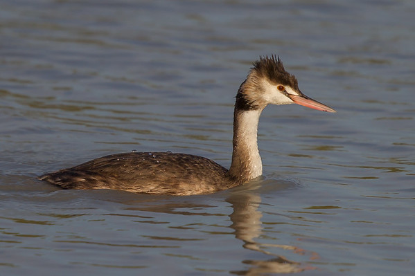 Great Crested Grebe (Podiceps cristatus) -  Longreach Waterhole, Elliott