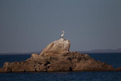 Australian Pelican (Pelecanus conspicillatus) - Lake Argyle (Kununurra), Western Australia