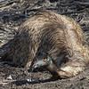Emu (Dromaius novaehollandiae) - Menindee, New South Wales