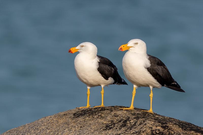 Pacific Gull (Larus pacificus) - Bay of Fires, Tasmania
