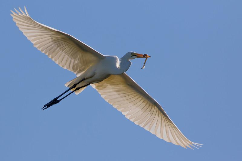 Great Egret (Ardea alba) - Tyto Wetlands (Ingham), Queensland