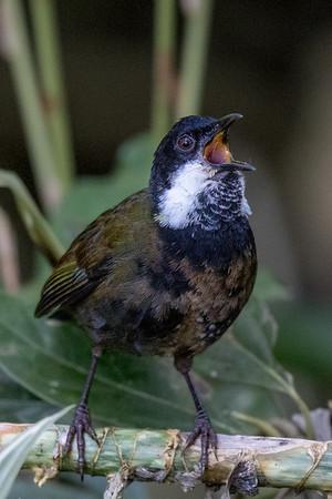 Eastern Whipbird (Psophodes olivaceus) - Malanda, Queensland
