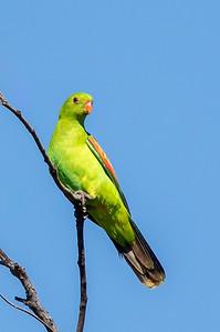 Red-winged Parrot (Aprosmictus erythropterus) - Clem Walton Reserve (Cloncurry), Western Australia