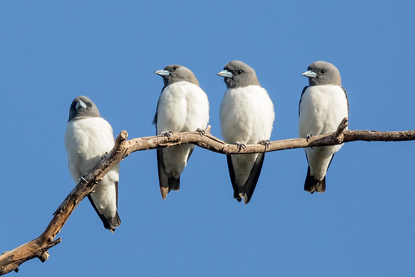 White-breasted Woodswallow (Artamus leucorynchus) - Laura, Queensland