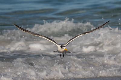 Crested Tern (Thalasseus bergii) - Bay of Fires, Tasmania