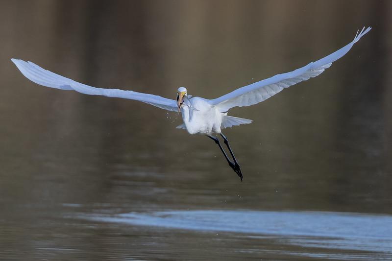 Great Egret (Ardea alba) - Camooweal, Queensland