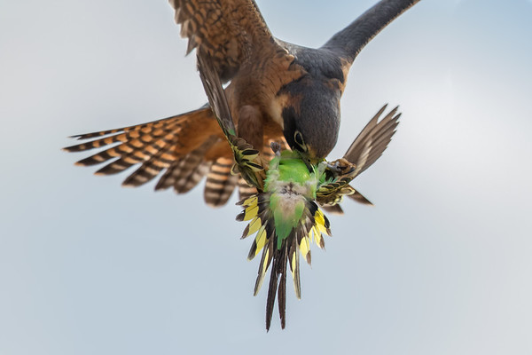 Australian Hobby (Falco longipennis) + Budgerigar (Melopsittacus undulatus) - Boulia, Queensland