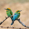 Rainbow Bee-eater (Merops ornatus) - Chiltern, Victoria