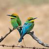 Rainbow Bee-eater (Merops ornatus) - Chiltern, Victoria