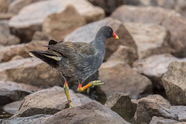 Dusky Moorhen (Gallinula tenebrosa) - Winton Wetlands, Victoria