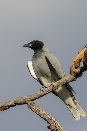 Black-faced Cuckoo-shrike (Coracina novaehollandiae) - Cumberland Dam (Georgetown), Queensland
