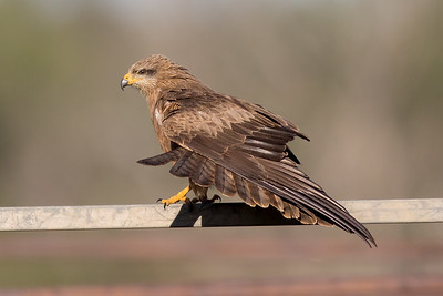 Black Kite (Milvus migrans) - Middleton, Queensland
