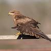 Black Kite (Milvus migrans) - Middleton, Queensland