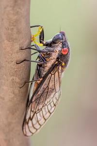 Redeye Cicada (Psaltoda moerens) - Euroa, Victoria