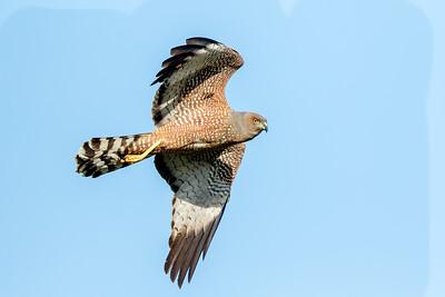 Collared Sparrowhawk (Accipiter cirrhocephalus) - Anderson Creek (Longreach), Queensland