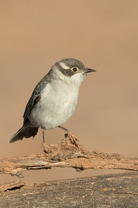 Brown-headed Honeyeater (Melithreptus brevirostris) - Bowra (Cunnamulla), Queensland