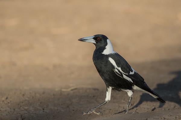 Australian Magpie (Craticus tibicen) - Long Waterhole (Winton), Queensland