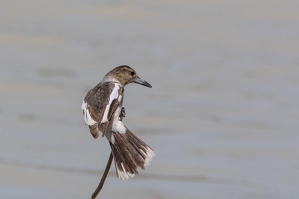 Pied Butcherbird (Cracticus nigrogularis) - Camooweal, Queensland