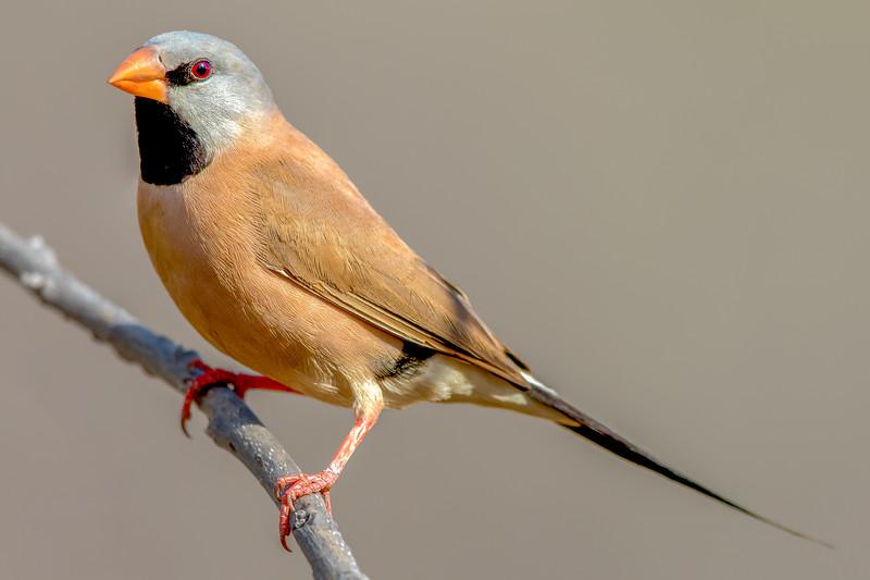 Long-tailed Finch (Poephila acuticauda) - Edith Falls, Northern Territory