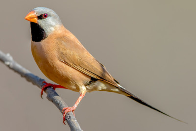 Long-tailed Finch (Poephila acuticauda) - Edith Falls, Northern Territory