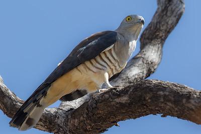 Pacific Baza (Aviceda subcristata) - Edith Falls, Northern Territory