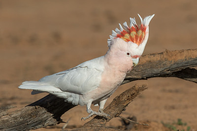 Major Mitchell's Cockatoo (Lophochroa leadbeateri) - Bowra (Cunnamulla), Queensland