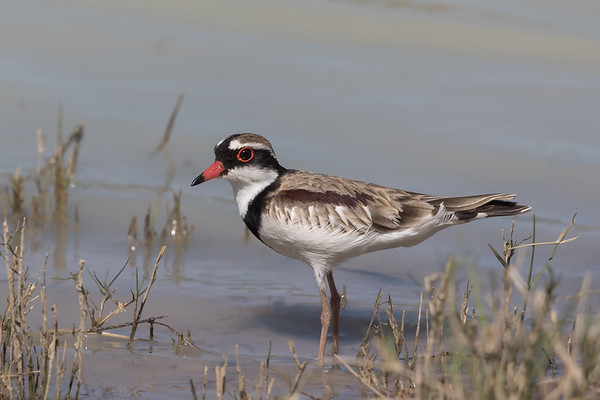 Black-fronted Dotterel (Elseyornis melanops) - Camooweal, Queensland
