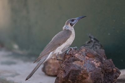 Little Friarbird (Philemon citreogularis) - Goanna Creek Rest Area, Northern Territory
