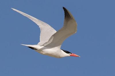 Caspian Tern (Hydroprogne caspia) - Camooweal,  Queensland