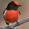 Red-capped Robin (Petroica goodenovii) - Bowra (Cunnamulla), Queensland